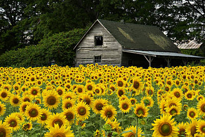 Sunflower Field And Barn Art Print by Tom  Wray