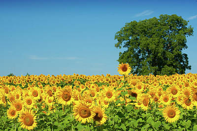 Photograph - Sunflower Field And Beyond by Dennis Ludlow