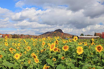 Sunflower Field And Mount Sugarloaf Art Print by John Burk