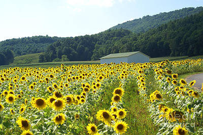 Photograph - Sunflower Field by Annlynn Ward