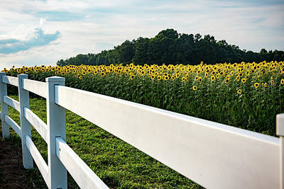 Photograph - Sunflower Field Behind A White Fence by Anthony Doudt