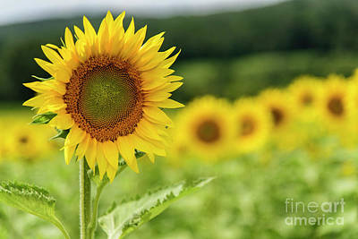 Photograph - Sunflower Field by Debra Fedchin
