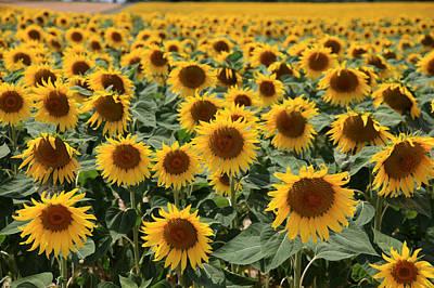 Sunflower Field France Art Print by Pauline Cutler