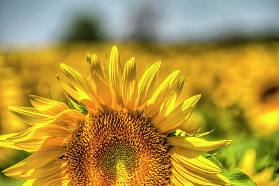 Photograph - Field Of Sunflowers  by Gej Jones