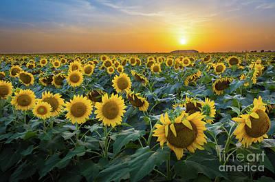 Texas Sunflower Photograph - Sunflower Field - July by Inge Johnsson