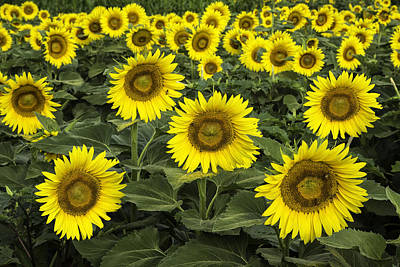 Photograph - Sunflower Field by Jim Dollar