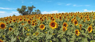 Photograph - Sunflower Field One by Barbara McDevitt