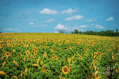 Photograph - Sunflower Field by Pamela Williams