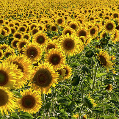 Photograph - Sunflower Field by Paul DeRocker