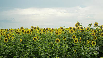 Photograph - Sunflower Field by Ules Barnwell