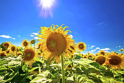 Photograph - Sunflower Field Under Blue Sky And Sun View by Brch Photography