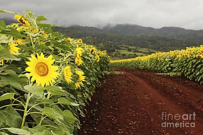 Sunflower Field Art Print by Vince Cavataio - Printscapes