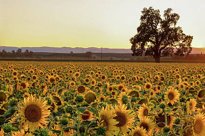 Photograph - Sunflower Field With Old Oak by Robin Mayoff
