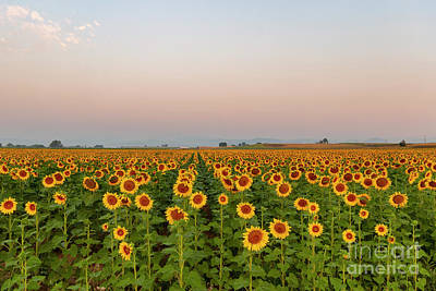 Photograph - Sunflower Fields Forever by Ronda Kimbrow