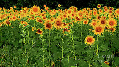 Photograph - Sunflower Fields Forever by Scott Cameron
