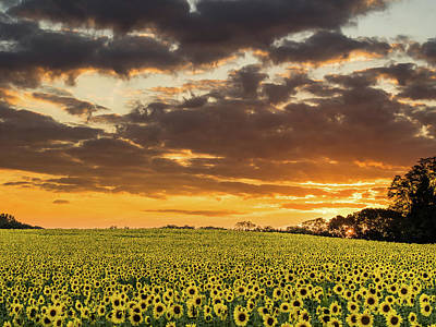 Photograph - Sunflower Fields Sunset by Jay Moore
