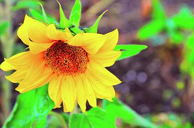 Photograph - Sunflower For Sue by Joe Burns