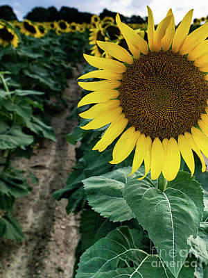 Photograph - Sunflower From Mattituck, Long Island by Alissa Beth Photography