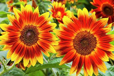 Photograph - Sunflower Garden by Alan L Graham
