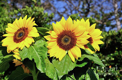 Sunflower Garden Art Print by Kaye Menner