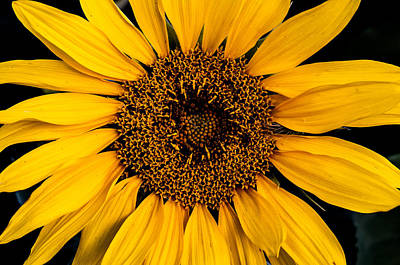 Photograph - Sunflower by Gary Lengyel