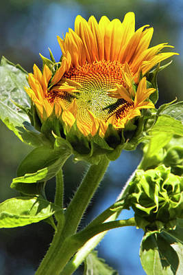 Rollos Photograph - Sunflower Glory by Christina Rollo