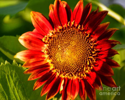 Photograph - Sunflower Glow by Kathy M Krause