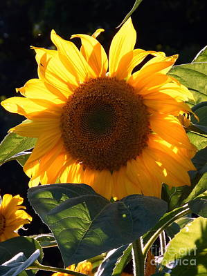 Photograph - Sunflower - Golden Glory by Janine Riley