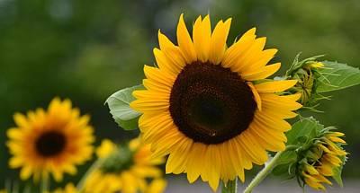 Sunflower Group Art Print