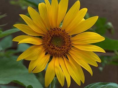 Sunflower Art Print by Gt