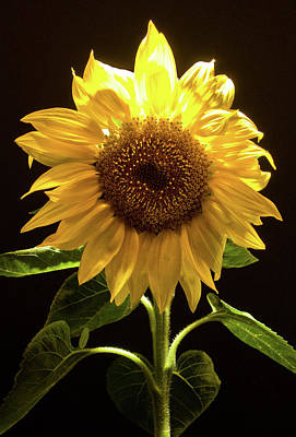 Photograph - Sunflower by Guillermo Rodriguez