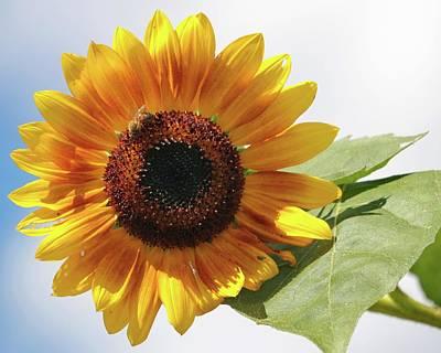 Photograph - Sunflower by Harold Rau