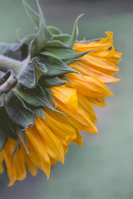 Photograph - Sunflower Haze by Arlene Carmel