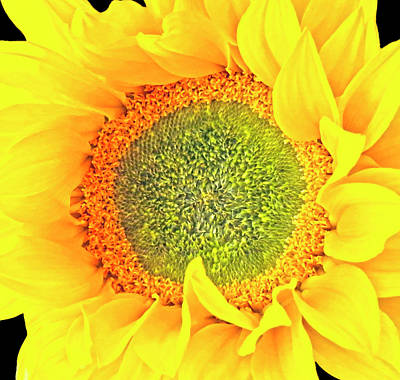 Photograph - Sunflower Hdr by Johanna Hurmerinta