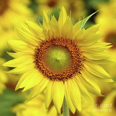 Photograph - Sunflower - Helianthus Annuus by Scott Cameron