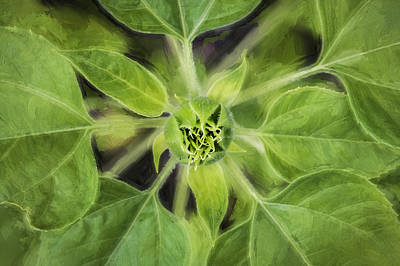 Photograph - Sunflower Helianthus Giganteus Painted by Rich Franco