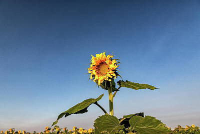 Photograph - Sunflower High In The Sky by Tony Hake