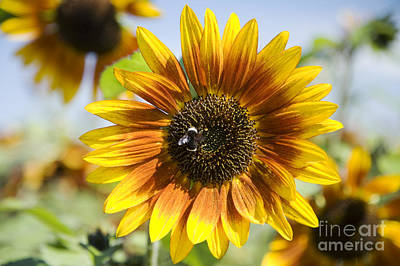 Sunflower Hybrid Art Print by Peter French - Printscapes
