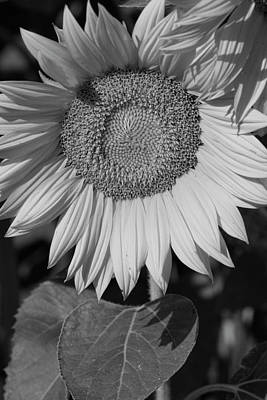 Photograph - Sunflower In Black And White by Kathy Clark