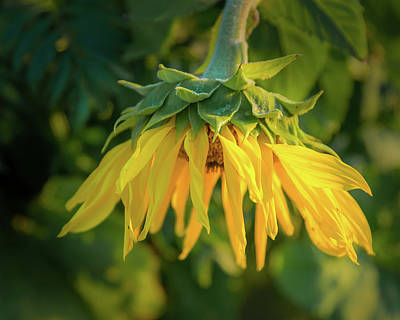 Photograph - Sunflower In Evening Light by John Brink