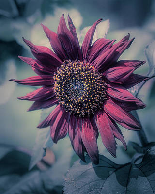 Photograph - Sunflower In Red by John Brink