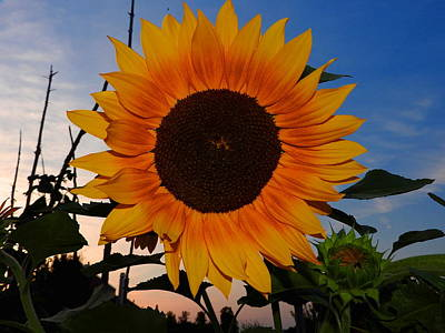 Sunflower In The Evening Art Print
