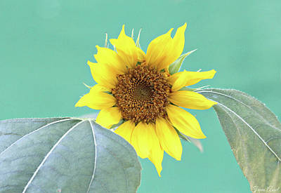 Photograph - Sunflower In The Summer Time by Trina Ansel