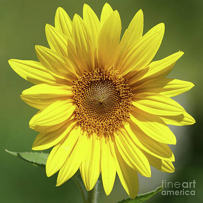 Photograph - Sunflower In The Sun by Robert E Alter Reflections of Infinity