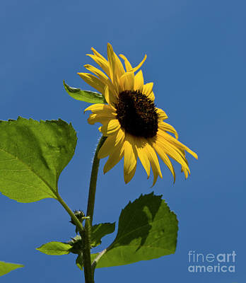 Photograph - Sunflower by Irina Afonskaya