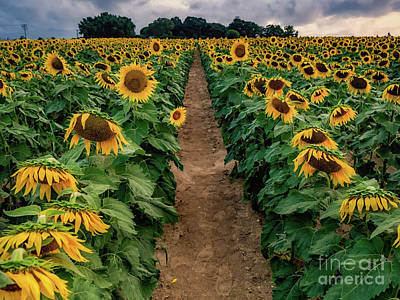 Photograph - Sunflower Isle by Alissa Beth Photography