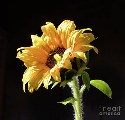 Photograph - Sunflower Isloated On Black by Bruce Block