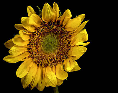 Photograph - Sunflower by James Sage