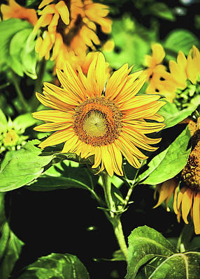 Wall Art - Photograph - Sunflower by Jessica Manelis