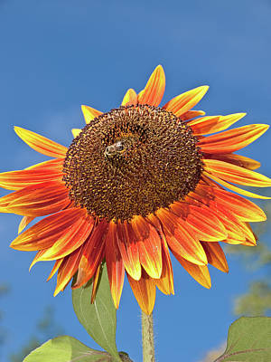 Photograph - Sunflower by Jim DeLillo